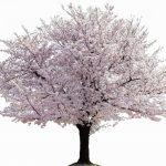 桜の花の種類と寿命について