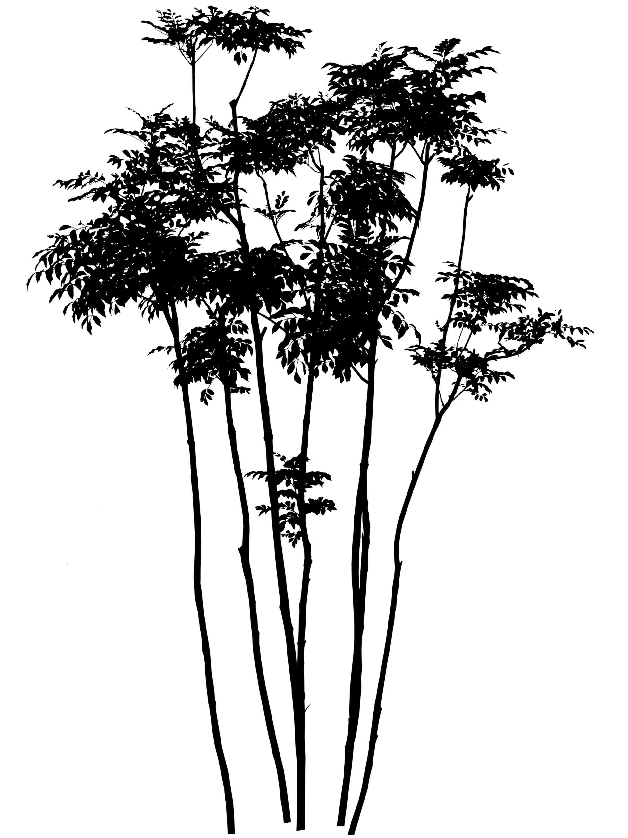 シマトネリコの単幹と株立ち庭に植えるならどちら