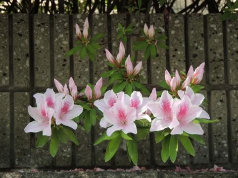 ヒラドツツジ花を咲かせるための剪定の方法と時期