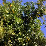 レモンの木の剪定と時期について