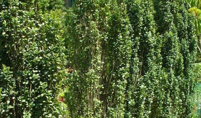 スカイペンシルの生垣を作る注意するポイントは