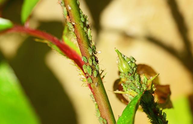 アブラムシの駆除する方法|農薬を使わず予防・駆除するには