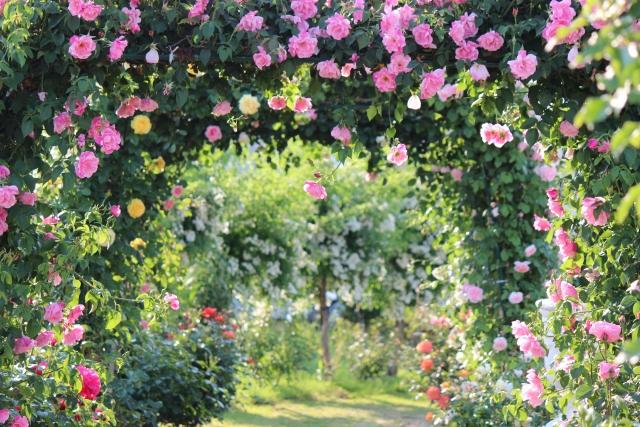 バラの植え方と管理のポイント