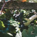 ぶどうの木の育て方剪定の方法と時期について