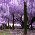 藤の花の開花時期と有名な名所は