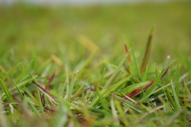 高麗芝に発生する病気と対処法について