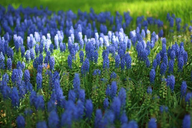 ムスカリの育て方と花後の管理はどのようにするの