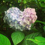 アジサイの花の色はなぜ土によって変化するの