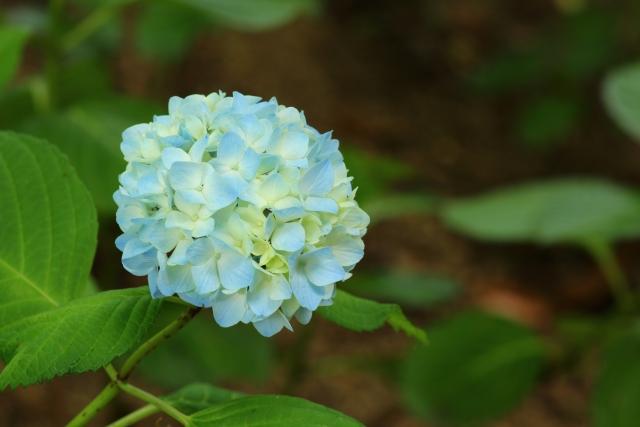 アジサイの花が小さくしか咲かないのはなぜ