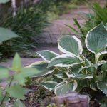 ギボウシの育て方植え替えはどうすればいい