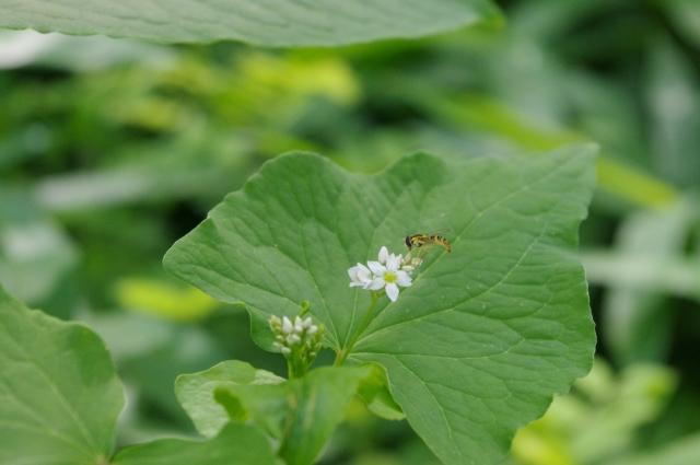 庭のやぶ蚊の対策ハーブで蚊を寄せ付けないものは