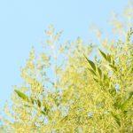 シマトネリコの葉っぱに虫食い駆除の方法は