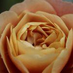 シュラブローズの夏の剪定と冬の剪定について