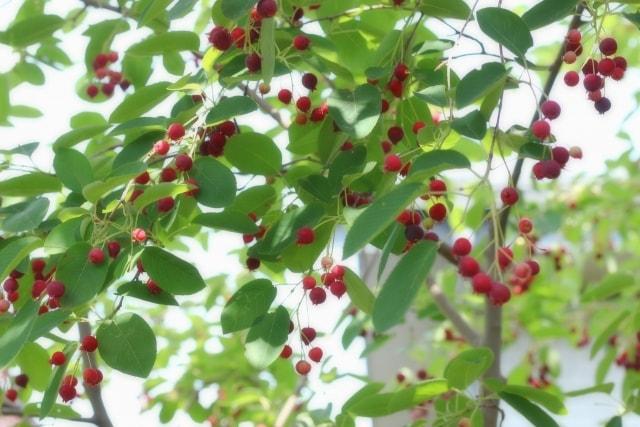 ジューンベリーの地植えと鉢植え育て方で注意するところは