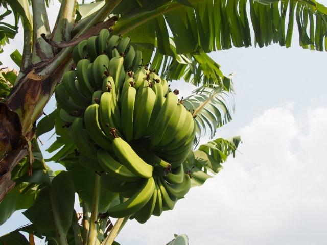 バナナの木の育て方庭植えで食べられるようになるの