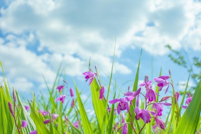 シランの育て方増えすぎたシランの花後の手入れ