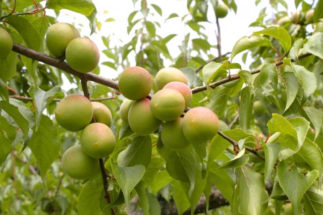 梅の実を収穫する時期はいつがいいの?