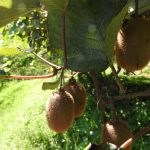 キウイの収穫時期はいつがいい収穫するときの目安はなにかあるの