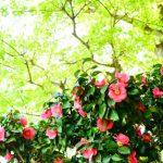 何年も手入れしない椿の木の剪定方法とその時期について