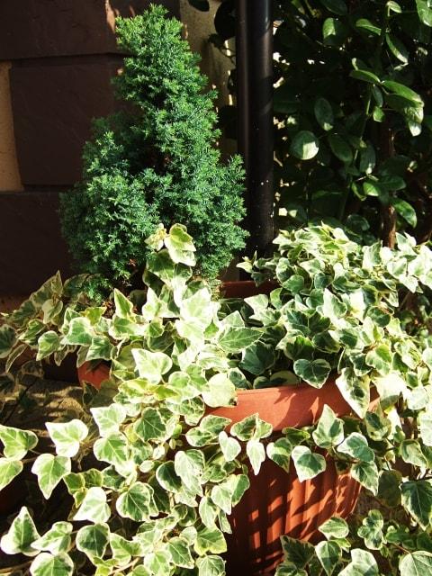 コニファーを植える際の肥料の種類や方法は