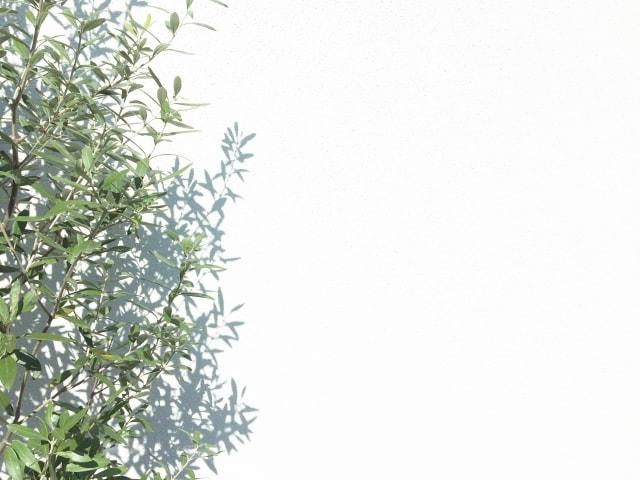 オリーブの木の育て方・・病気や害虫はどんなことに気をつければいい
