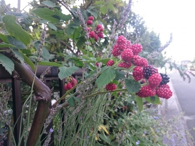 ラズベリーの育て方地植えと鉢植えどんなことに注意すればいい