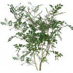 シマトネリコは挿し木で増やせるのその方法は