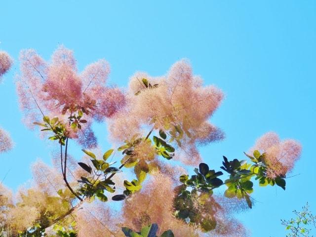 スモークツリーを鉢植えで育てたい注意するポイント3つ