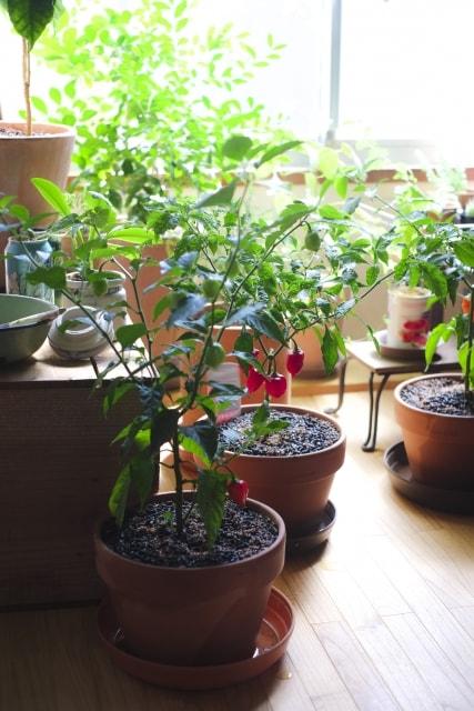 鉢で育てる観るトオガラシの育て方