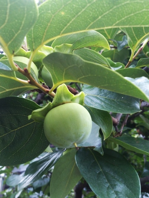 渋柿が甘い柿に変身!簡単な渋抜き方法