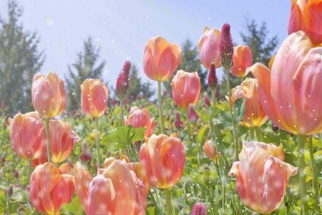 キレイに咲かせる!チューリップの植え付け時期と育て方