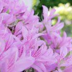 きれいな花を咲かせよう!ツツジに肥料を与えるタイミングとは。