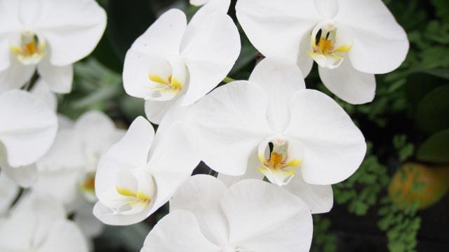 胡蝶蘭のお手入れ方法。花言葉はなに?