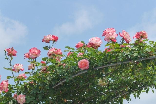 つるバラ剪定の基本を覚えて元気な花を咲かせよう