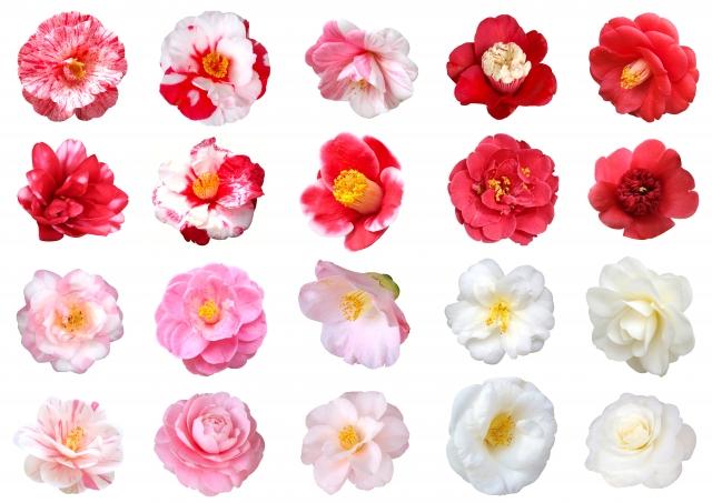 椿の種類それぞれの開花や見頃の時期と、育て方のコツ