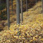 可愛い花が咲くミツマタの育て方と花言葉