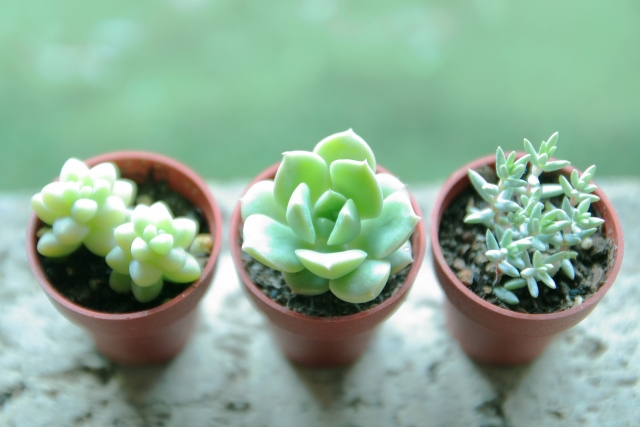 初心者にもやさしい多肉植物の育て方