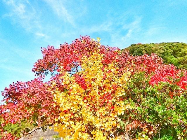 葉も実も楽しめる銀杏の木を剪定する方法