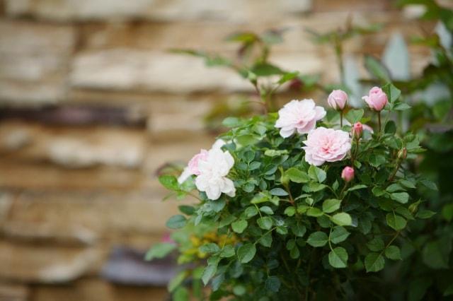 美しく咲き誇るミニバラ!歴史と種類と育て方