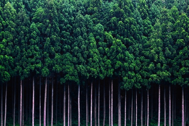 針葉樹とはどういう植物なのその種類や活用方法は