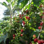 コーヒーの木の育て方で知っておきべき基礎知識や適した環境は