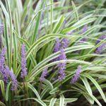 斑入りヤブランとヤブランの違いは?花の色や葉で見分けられるのか
