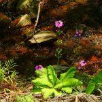 クリンソウの知っておきたい育て方や開花時期・基本情報