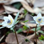 セツブンソウの育て方と可憐な花が咲く魅力や特徴について