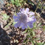 マツムシソウはどこで咲いている?育て方と種類・群生地について