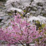 桜の木の育て方で大事にするのはこれを知っておきたい!