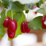 グミの木の特性について種類・剪定・育て方