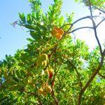 ライチの木の特徴・育て方・肥料・剪定の方法について