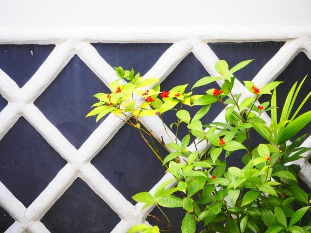 千両の育て方植え替え・剪定・花が咲かない・ 実がつかない・実がおちる