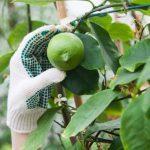 レモンの木鉢植えを室内で育てるための6つのポイント